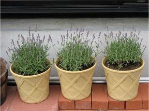 Lavender4_1
