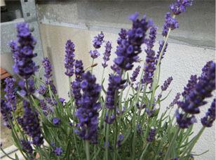 Lavender72