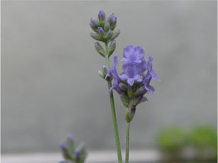 Lavendernae8
