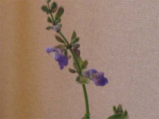 Sageflower